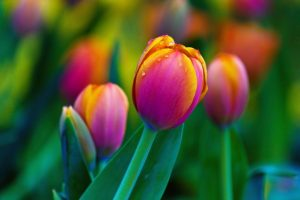 tulpes-61220425